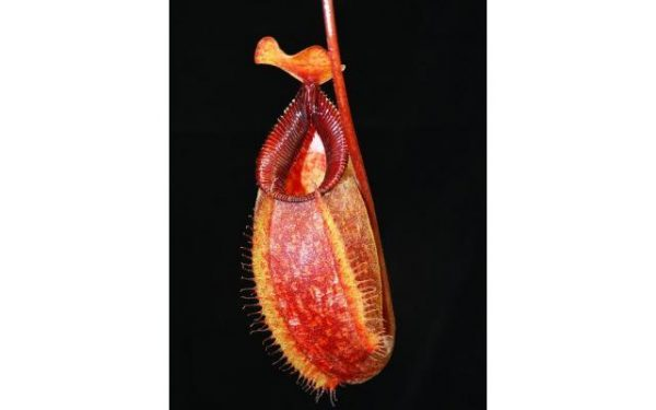 Nepenthes aristolochioides x hamata BE3898