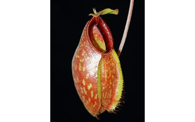 Nepenthes aristolochioides x hamata BE3898