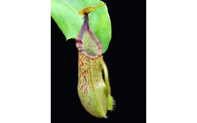 Nepenthes hamata x veitchii BE3943