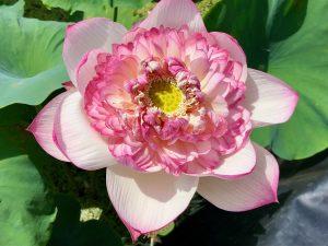 Lotus Paradise