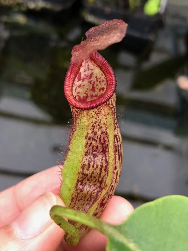 Nepenthes maxima x robcantleyi BE3963