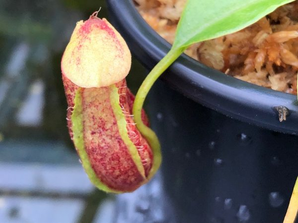 Nepenthes 'Bill Bailey' x robcantleyi BE3965