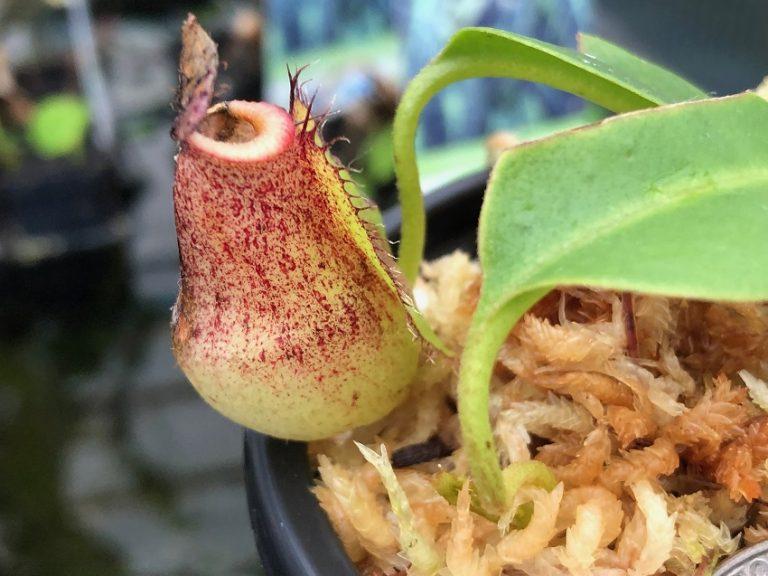 Nepenthes singalana x robcantleyi BE3959