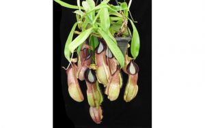 N. spathulata x hamata