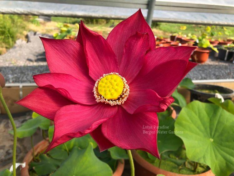 Lovesick Red Lotus