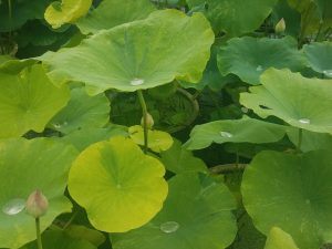 Variegated Lotus