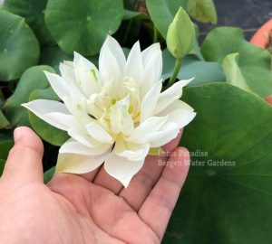 Bai Junzi Lian Chinese lotus tuber for sale, pond lotus online, water lotus, bowl lotus