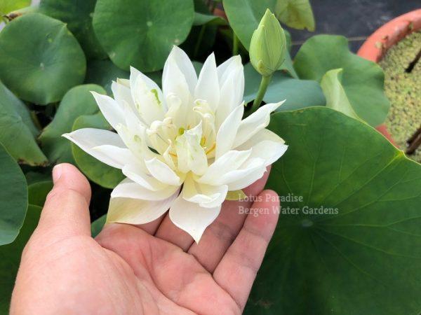 Bai Junzi Lian Chinese lotus tuber for sale, pond lotus online, water lotus, bowl lotus