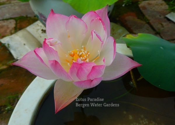 Dream of Yaotai Lotus