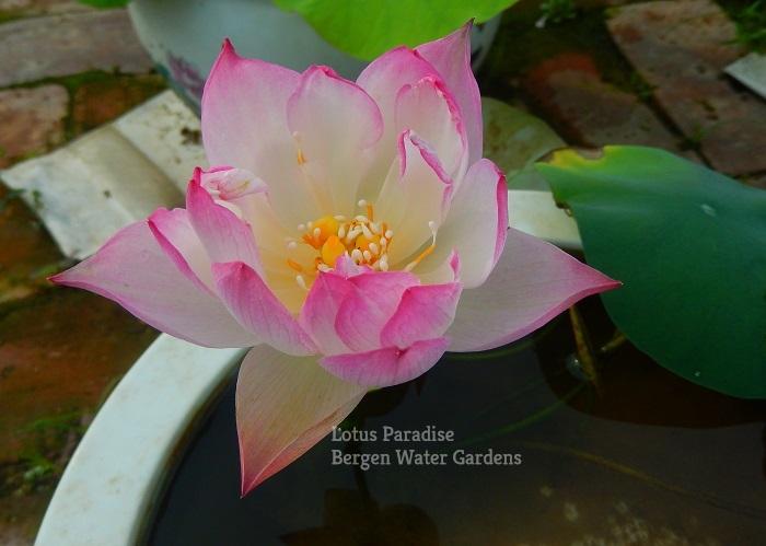 Dream of Yaotai Lotus