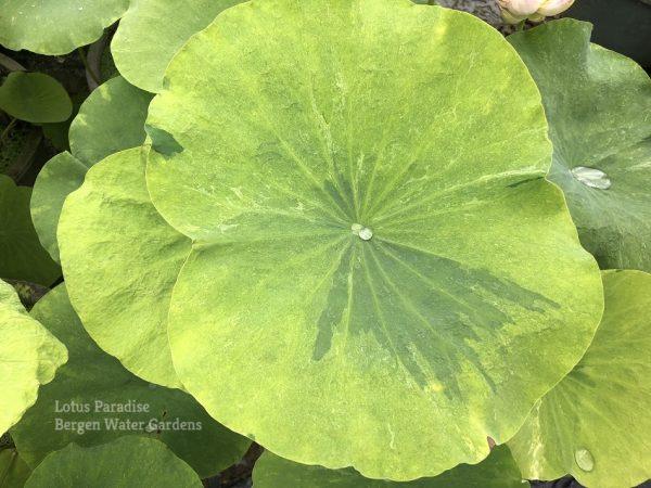 Gold Splash Hibiscus Lotus