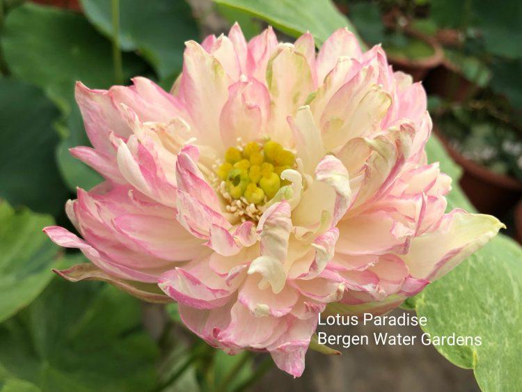 Golden Splash Hibisucs lotus