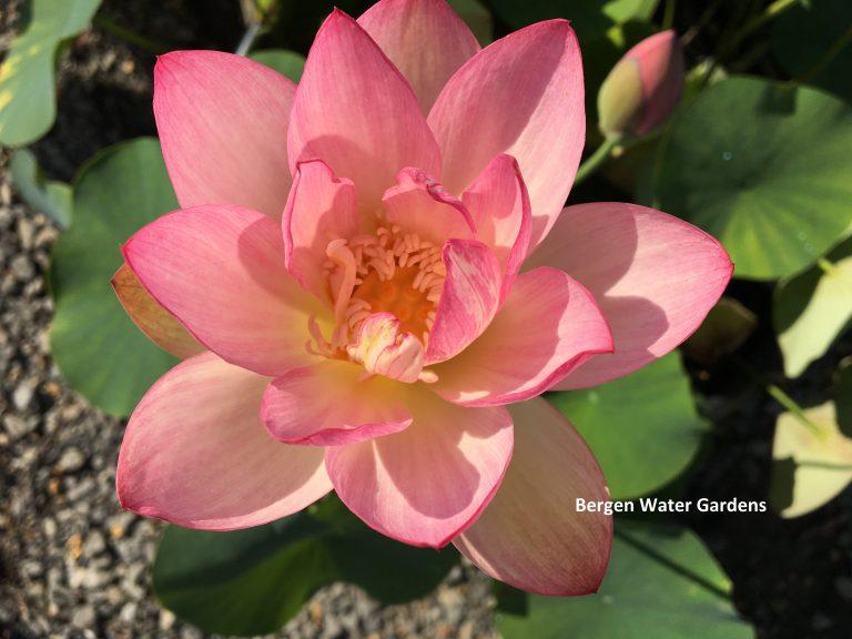 New Red Lotus