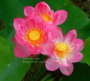 Jade Lady Lotus