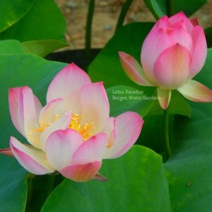 Little Lucky Jade Lotus