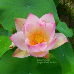 Little Suzakuwm Lotus