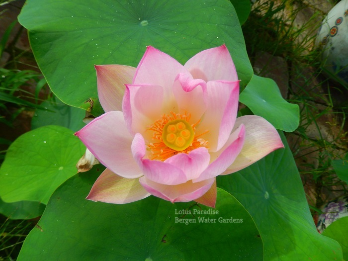 Little Suzakuwm Lotus