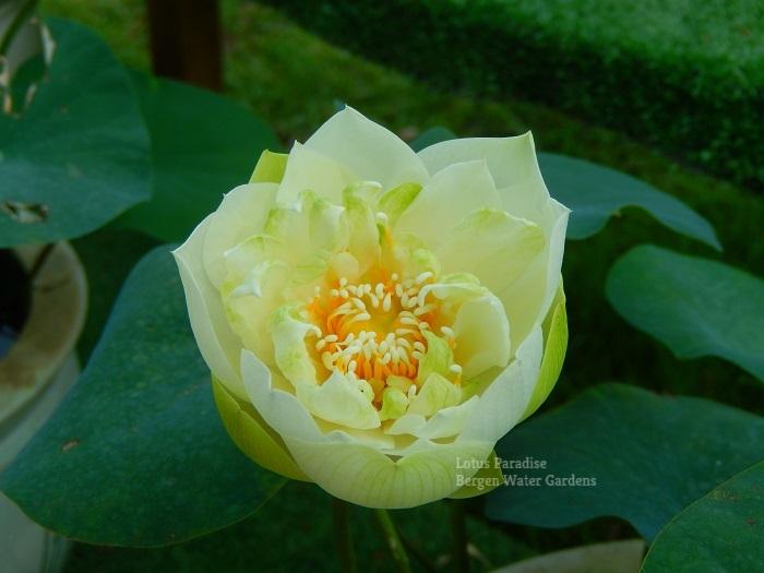 Mint Sugar Lotus