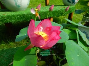 Real Beauty Lotus
