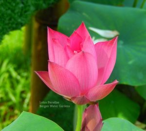 Real Beauty Lotus