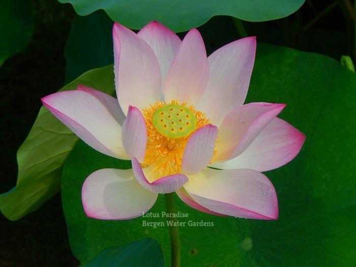 Red Jiangxi Lotus Chinese Lotus tuber for sale, pond lotus online, water lotus
