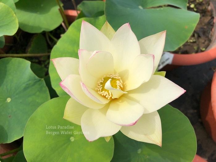 Spallow Sleeping in Spring 15 Lotus