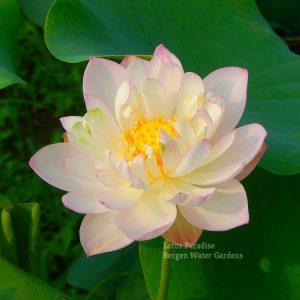 The Luminous Pearl Lotus