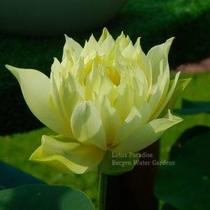 Yellow Jade Lotus