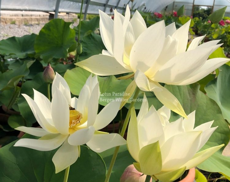 Taoxi Flying Snow Lotus