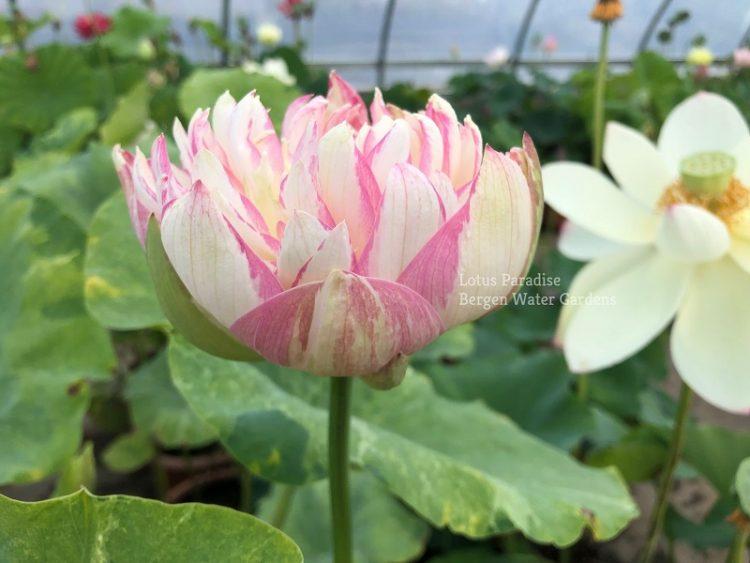 Golden Splash Hibiscus Lotus