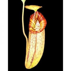 Nepenthes robcantleyi x (aristolochioides x spectabilis) BE3966