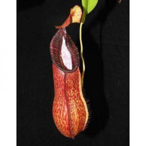 Nepenthes petiolata x hamata BE3725