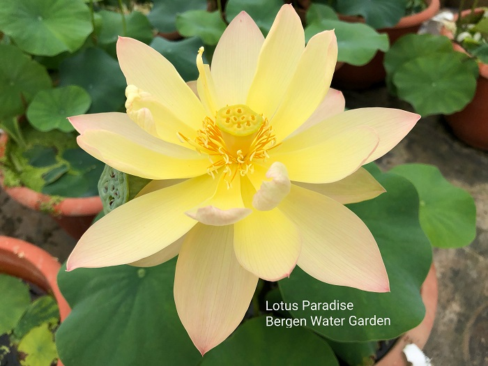 Golden Sunset Lotus