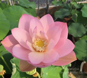 Pink Chiffon Lotus
