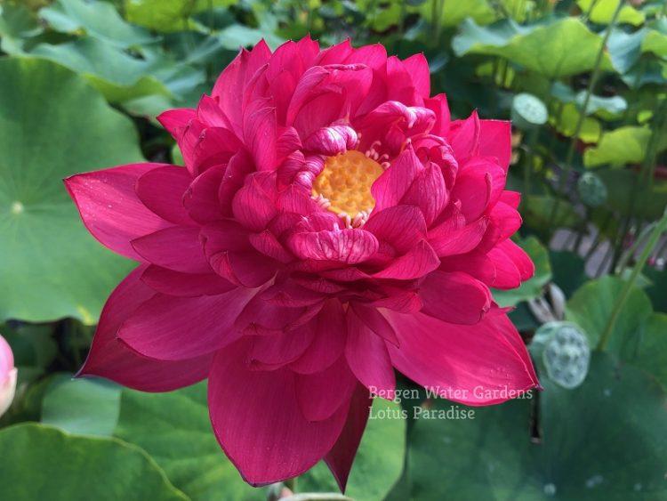 Beauty in Autumn Lotus