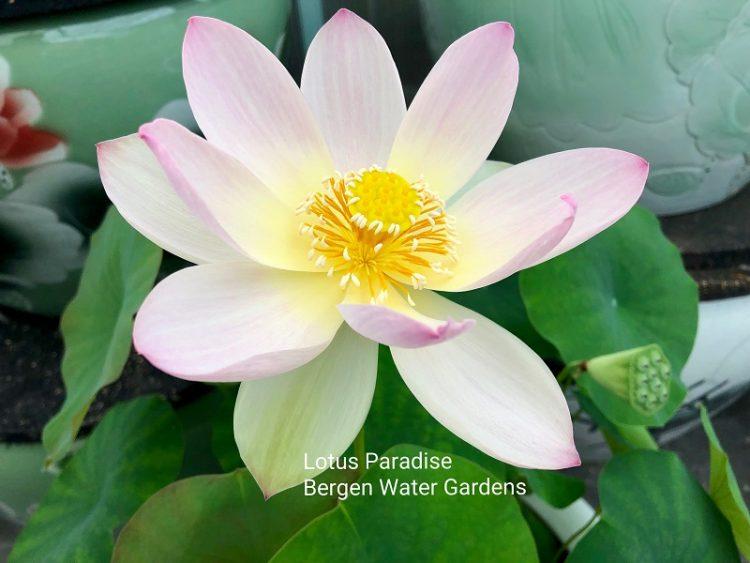 Misty in Zhongshan Lotus