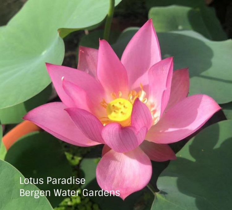 Chong Shui Hua 3 Lotus