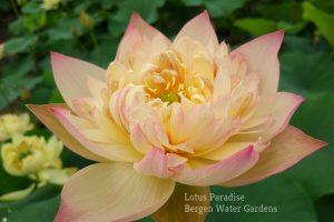 Dream of Yaochi Lotus