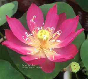 Little Red Dress Lotus