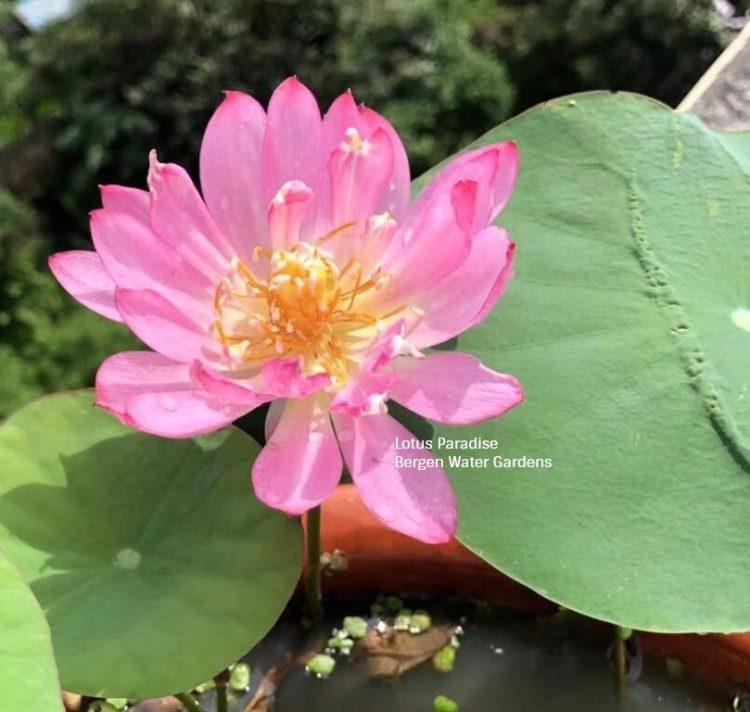 Chong Shui Hua 1 Lotus