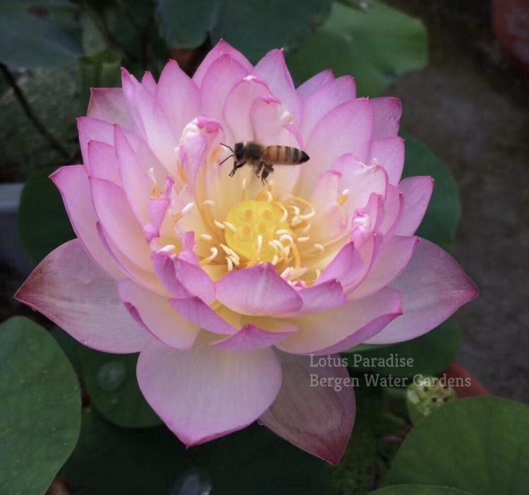 Dreamlike Lotus