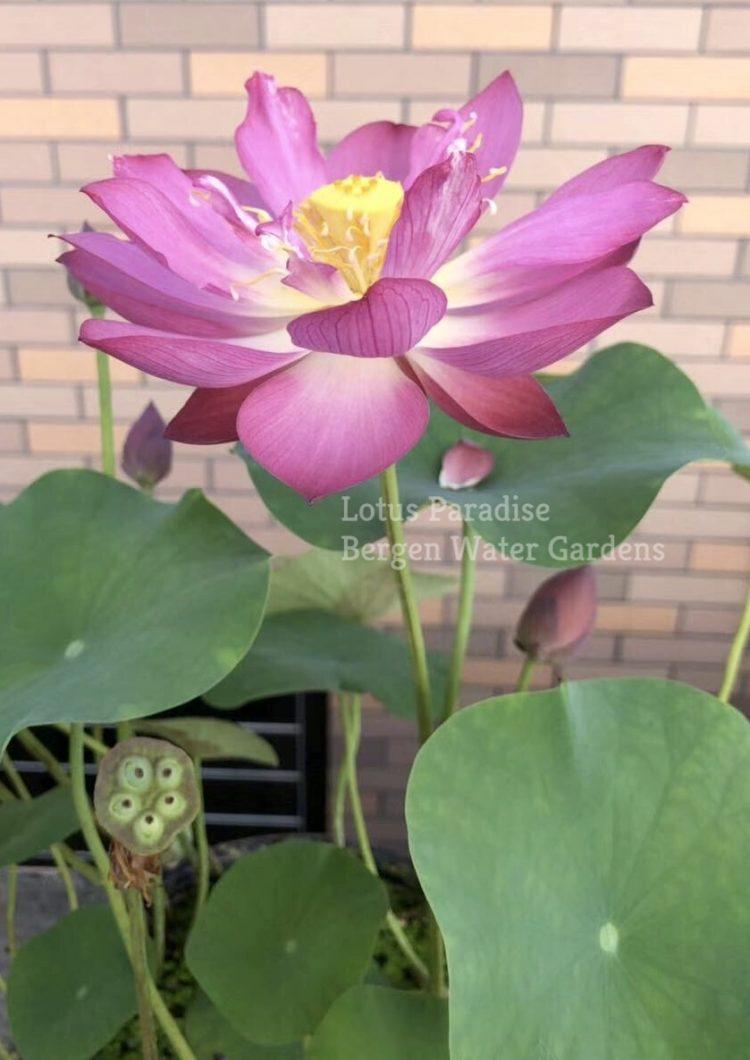 Little Beauty in Nanyue Lotus