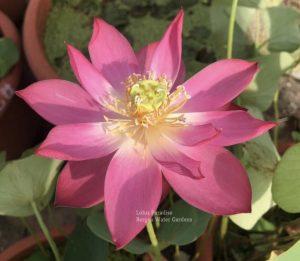 Red Fairy Lotus