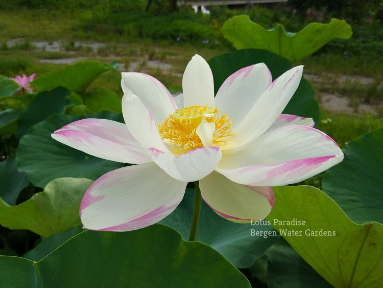 Empress Lotus