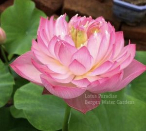 Fairy Lady Lotus