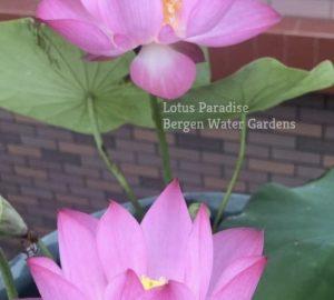 Sparkle Lotus