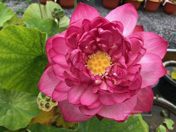 Pink Skirt Lotus