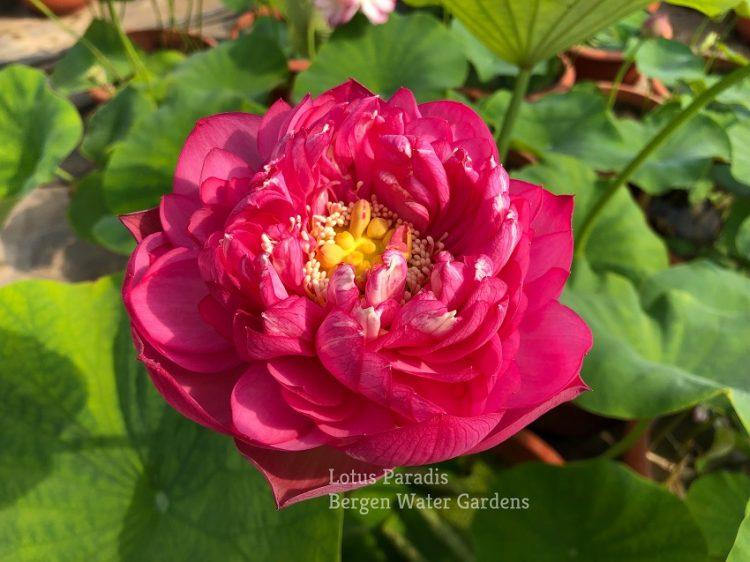 Rose Hermosa Lotus