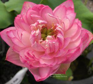 Pink Duplicate Lotus
