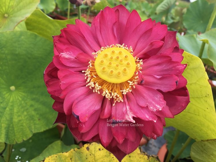 Sunflower Lotus